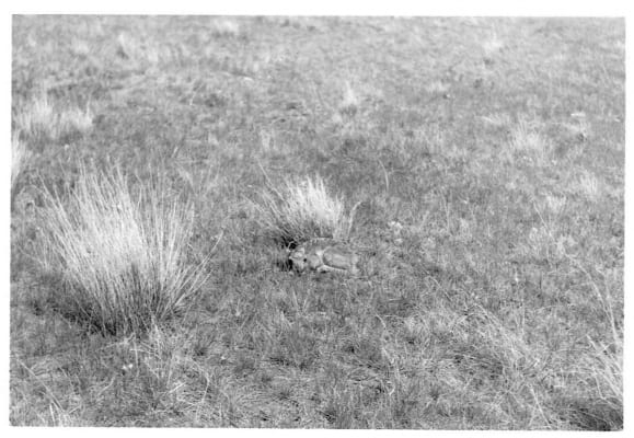 Baby-antelope-Photo-caption-Gene-Keller-1964